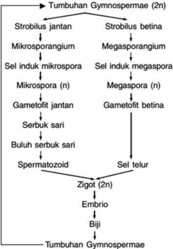 Reproduksi Gymnospermae Tumbuhan Berbiji Terbuka