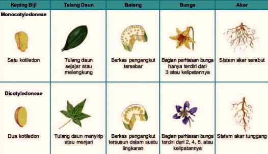Gambar Perbedaan Tumbuhan Monokotil dan Dikotil
