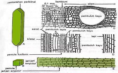 Struktur Kambium