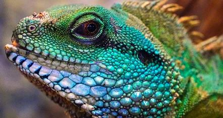 Contoh Hewan Ovovivipar Iguana