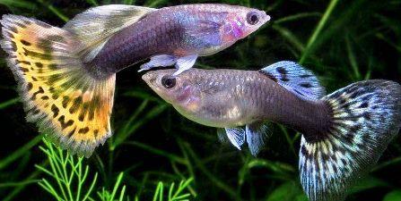 Contoh Hewan Ovovivipar Ikan Guppy