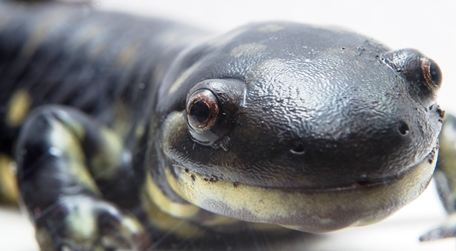 Contoh Hewan Ovovivipar Salamander