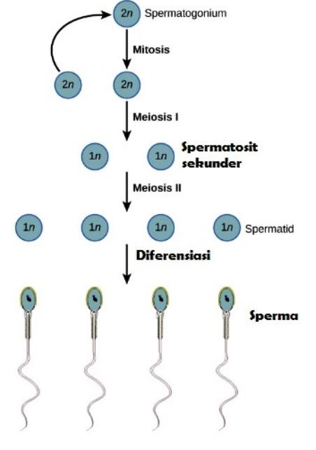 Gambar Spermatogenesis